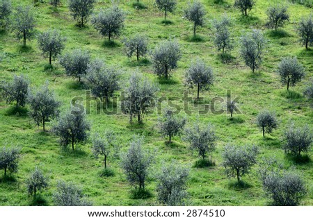 Olive trees landscapes, Itay - stock photo