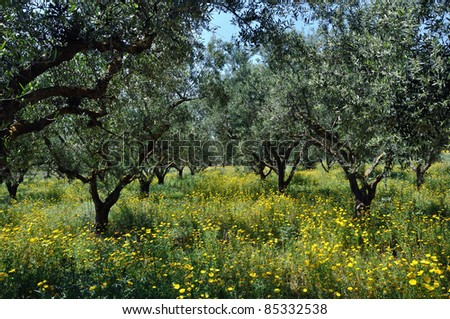 Olive trees plantation and wild flowers. Springtime in the countryside. - stock photo