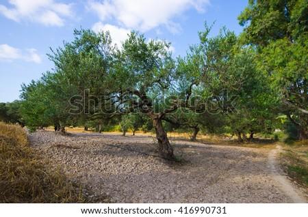 Olive trees plantation on Crete, Greece - stock photo