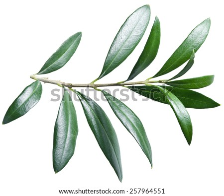 Olive twig on a white background. File contains clipping paths. - stock photo