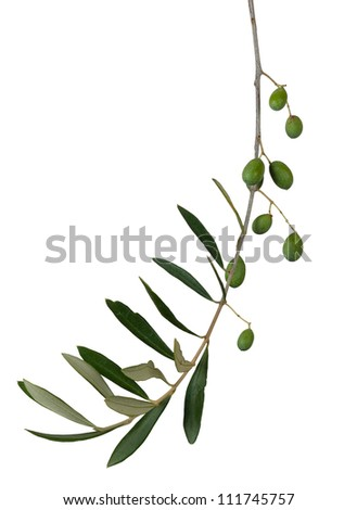 Olive twig over white