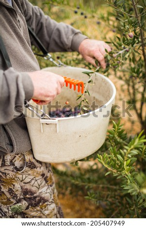 Olives being scraped and pulled off of a olive branch and put into a plastic waist worn container during a harvest in Paso Robles, California - stock photo