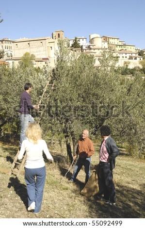 olives harvest - stock photo