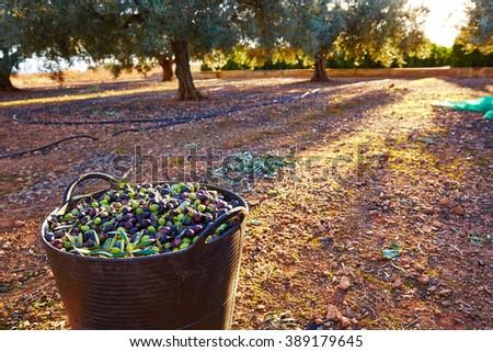 Olives harvest picking in farmer basket at Mediterranean - stock photo