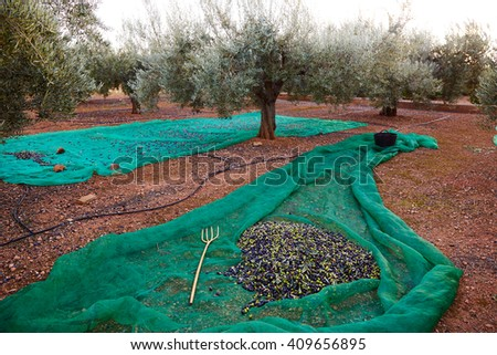 Olives harvest picking with net at Mediterranean - stock photo