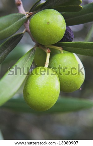 Olives in an olive tree - stock photo