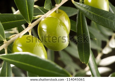 olives in olive tree branch - stock photo