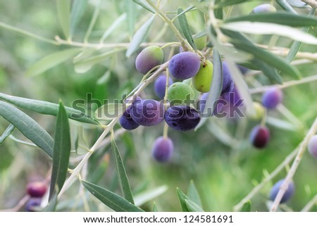 Olives mature on the tree - stock photo