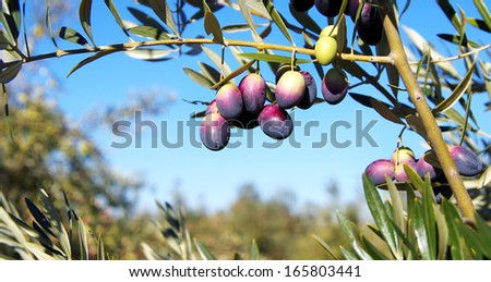 Olives on branch in sky - stock photo