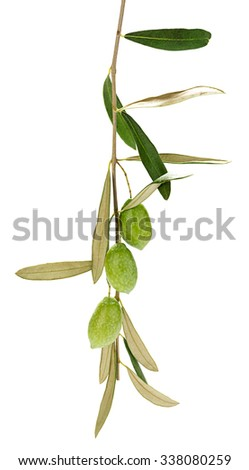 Olives on branch with leaves isolated white background. - stock photo