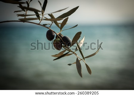 Olives on olive branch - stock photo