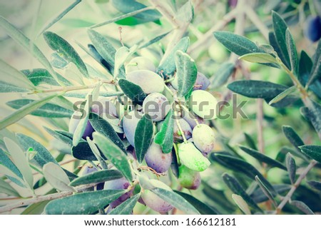 Olives on olive tree in autumn. Season nature image - stock photo