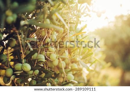 Olives on olive tree in autumn. Season nature image - stock photo