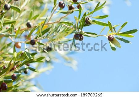 Olives on the tree against blue sky. Selective Focus. - stock photo