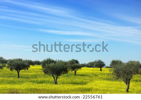 Olives tree in a field of yellow flowers.
