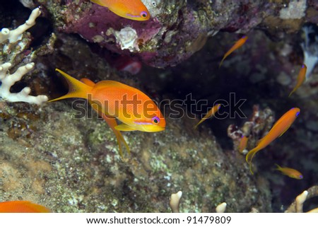 Oman anthias in the Red Sea