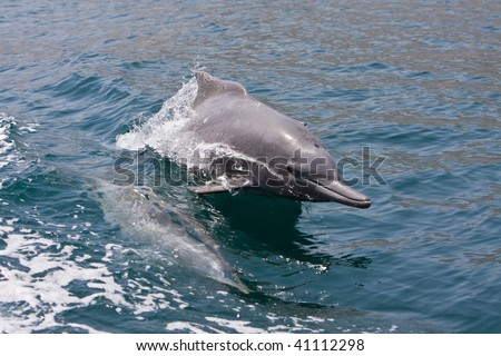 Oman Dolphins - stock photo