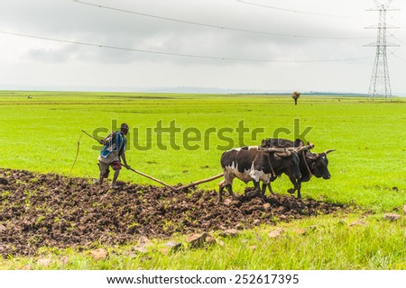 OMO, ETHIOPIA - SEPTEMBER 19, 2011: Unidentified Ethiopian man and a cow.  People in Ethiopia suffer of poverty due to the unstable situation