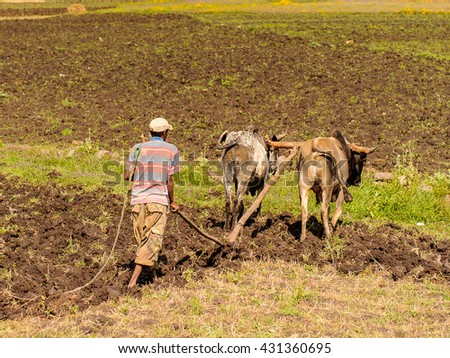 OMO, ETHIOPIA - SEPTEMBER 21, 2011: Unidentified Ethiopian man and the cows. People in Ethiopia suffer of poverty due to the unstable situation - stock photo