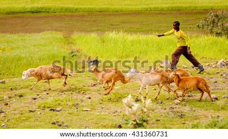 OMO, ETHIOPIA - SEPTEMBER 19, 2011: Unidentified Ethiopian young woys with sheep. People in Ethiopia suffer of poverty due to the unstable situation - stock photo