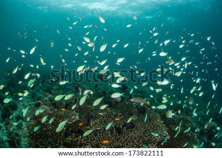 On a coral reef in the Philippines, blue-green damselfish (Chromis viridian) swarm above a slope where they can dive to safety if a predator swims too close. The reef fish are feeding on plankton. - stock photo