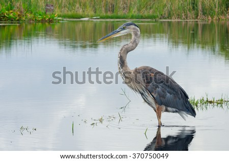 On a still afternoon, a blue heron keeps an eye out for prey in Florida wetlands - stock photo
