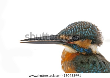 On a white background of kingfisher, close-up pictures  - stock photo