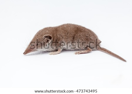 on a white background, there is a small shrew