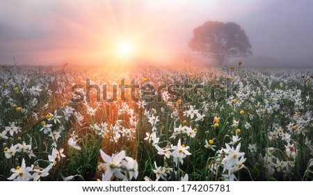 On background of alpine meadows spring, filled with pure water melting glaciers-bloom the first spring flowers, narcissus Primroses are especially appreciated by people who enjoyed a long winter care - stock photo