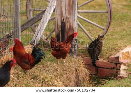 On the farm  three chicken birds and a can with part of a wagon wheel in the background. - stock photo