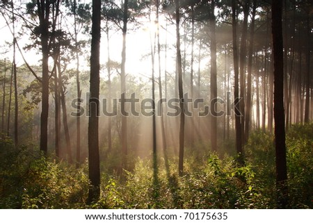 on the morning sunbeam shinning thought fog in the midst of pines