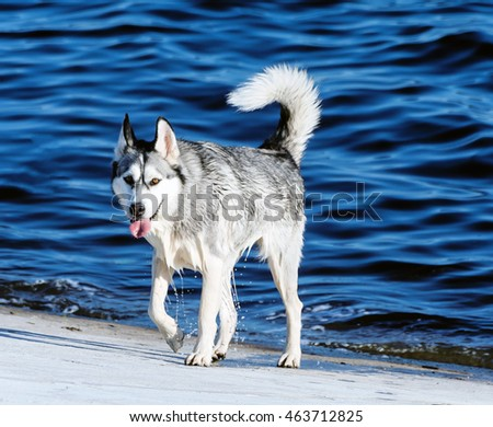 one adult dog breed alaskan malamute, wet after swimming, walking on a concrete slab, the background is very bright blue water, sunny evening, summer,  looking directly at the camera,dog,doggy,doggie,