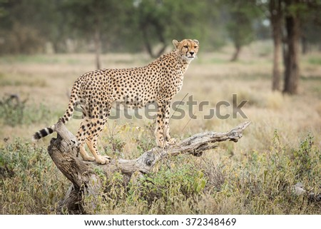 One adult female Cheetah standing on a dead log in Ndutu, Serengeti