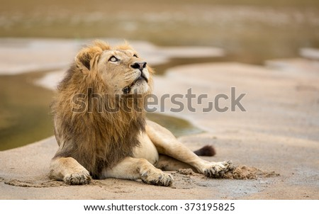 One adult male african lion resting in riverbed Kruger Park South Africa - stock photo