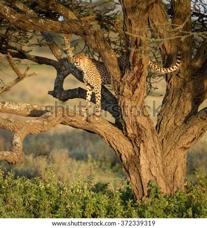 One Adult male Cheetah in a tree, Ndutu, Serengeti, Tanzania - stock photo