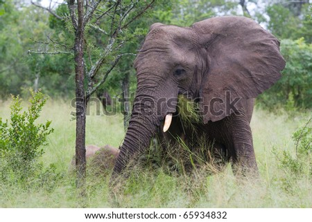 One African elephant feeding on grass - stock photo