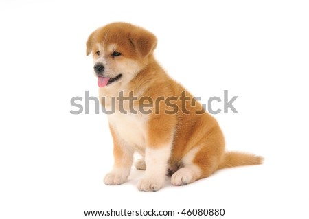 One  Akita Inu puppy dog on white background