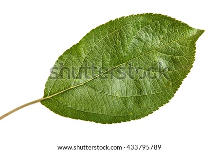one apple leaf isolated on white background