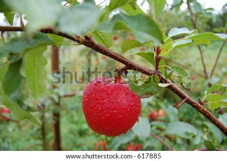 One apple on a branch - stock photo