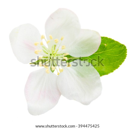 One Apple tree flower and leaf isolated on white background