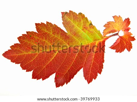 one  autumn colorful leaf of hawthorn  isolated on white background  - stock photo