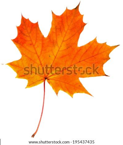 one autumn leaf isolated on a white background - stock photo