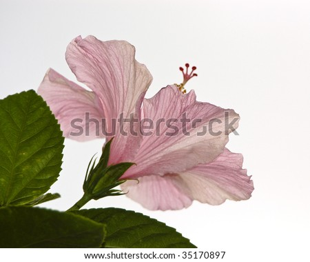 One backlit pink Hibiscus closeup with a white background. - stock photo
