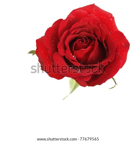 One beatiful red rose on white background - stock photo