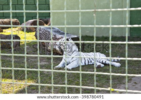 One beautiful big wild african animal of white bengal tiger cat family with beautiful soft fur with black stripes lying in zoo behind wire netting outdoor relaxing - stock photo