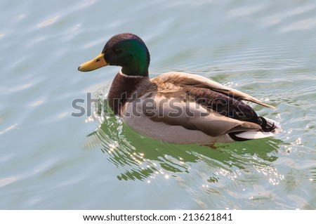 One beautiful duck floating on the clear lake - stock photo