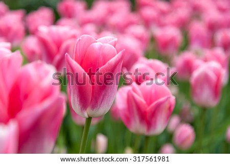 One beautiful pink tulip with a flower field in the background in the Netherlands - stock photo