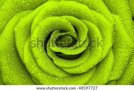 one beautiful rose, close-up, background - stock photo