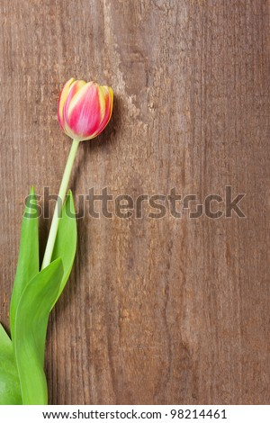 One beautiful tulip laying on a wooden plank.