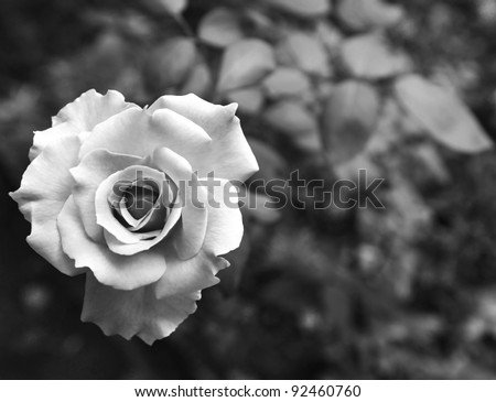 One beauty rose on black and white - stock photo